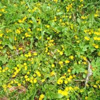 外来植物が野生化
