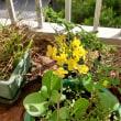 久々に僕のベランダ菜園の様子をアップ