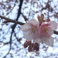 あたみ桜🌸
