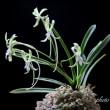 富貴蘭「翡翠」の花