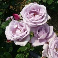 バラの季節です。