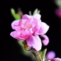 みかんちゃんに桃の花