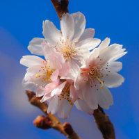 冬空に凜と咲くジュウガツザクラ(十月桜)