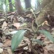 雨不足で発育不良?  ナギラン