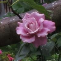 散歩で見た花。(ヒャクニチソウ、ガクアジサイ、バラ、? ?)