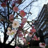 散歩道の梅の花