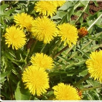 「肺炎」を、野草タンポポが予防します。