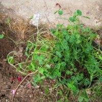 四つ葉のクローバ 順調に育ちました。