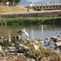 川端康成原作映画『古都』のチラシの中に懐かしい風景が!賀茂川と高野川の合流地点