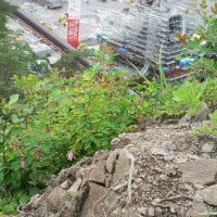 八ッ場ダム建設地に咲く