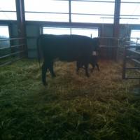 牛の親子に嫌われる事が有ります。