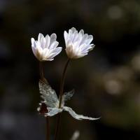 福山でユキワリイチゲの花を巡る 2.       2017.03.12(2)