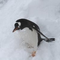 雪を蹴立てるペンギンたち