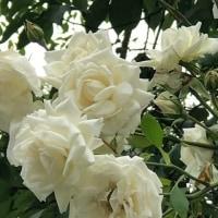 薔薇🌹新雪