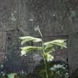 金沢城公園で「姥百合」の様々な形態‥等