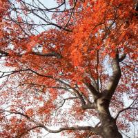 ・ 源氏山公園~鶴岡八幡宮へ 紅葉 2016