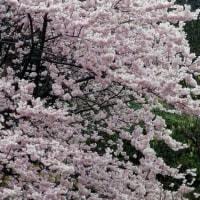 法性寺の桜 (2017.3.21 神奈川県横浜市保土ヶ谷区)