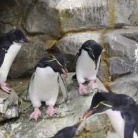 イワトビペンギンの若鳥1