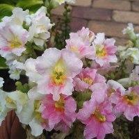 ニゲラが咲きだした