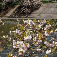 五ケ所川と牡丹桜 (南伊勢町)