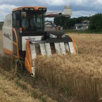 セトデュール(デュラム小麦)の収穫