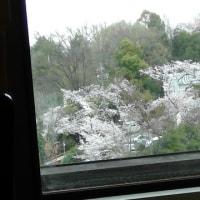 桜が散っちゃう~(>_<)