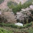 初 奈良吉野の千本桜
