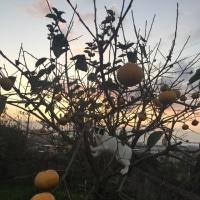 柿の木とくーさん