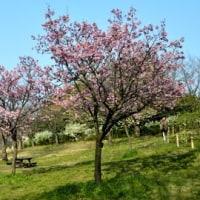 ご当地桜 ヨコハマヒザクラ