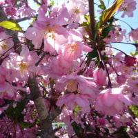 満開のしだれ桃と海棠