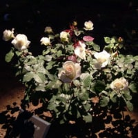 旧古河庭園 薔薇の季節のライトアップ