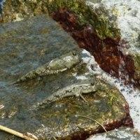 トビハゼ:夏の干潟の魚たち⑤