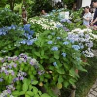 鎌倉の紫陽花たち