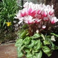 「なばなの里」ベゴニアガーデンの花~フクシア・スイレン・チューリップなど/庭の花たち~水仙・クロッカス・ビオラ&キンリョウヘン
