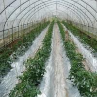 トマトの脇芽取り