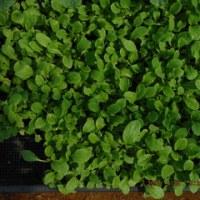 ナスの定植とプランター野菜の世話