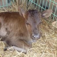 子牛が生まれました