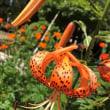 オニユリ Tiger lily