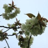 ウコンの桜(高幡不動尊)