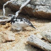ゲーロ岩の雄雷鳥