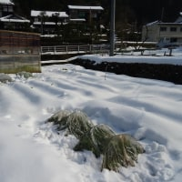 雪の下の野菜たち