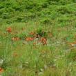 高ボッチ高原・鉢伏山で最近咲いている花 コウリンカ(紅輪花)