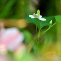 花びらの白い色は・・