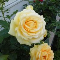 淡いピンクのヒナギクと淡い黄色のバラ
