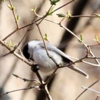 長野県北佐久郡軽井沢町長倉星野の軽井沢野鳥の森で、ミソサザイを観察しました