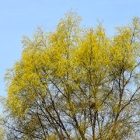 川原のタチヤナギの枝がにぎやかに
