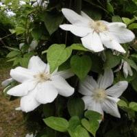 我が家のクレマチス 今年もいっぱいいっぱい咲きました