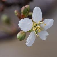 29日の散歩 ( 大徳寺、船岡山と十二坊蓮臺寺からの春だより )