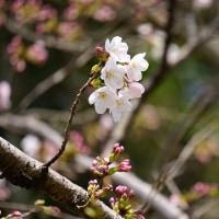 桜の開花宣言 2017