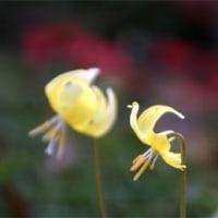 小さな小さな鳥さん発見!? いやちがう、西洋カタクリであ~る・畑えもん通信